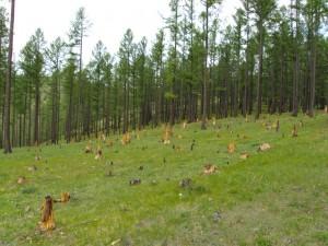 Field of stumps